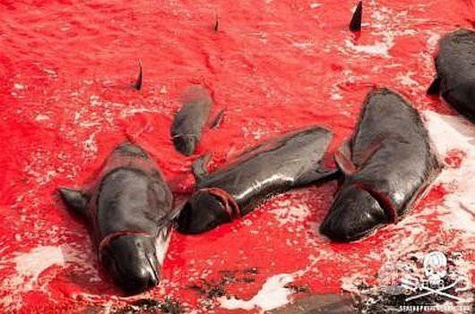 Zeker 200 grienden zijn gisteren afgeslacht bij de Faeröer-eilanden. De eerste grind (griendenjacht) vond plaats in Bøur op Vágar eiland. Zo'n 150 dieren werden het strand opgesleept en genadeloos afgeslacht. Actievoerende Sea Shepherd-vrijwilligers Rossie Kunneke (Zuid-Afrika), leider van het Sea Shepherd-team op het vaste land en Christophe Bondue (België) werden gearresteerd. Volgens de politie van de Faeröer-eilanden worden ze beschuldigd van het verstoren van de grind. Dat doe je volgens de wet al als je je minder dan 1 mijl van een griend bevindt.