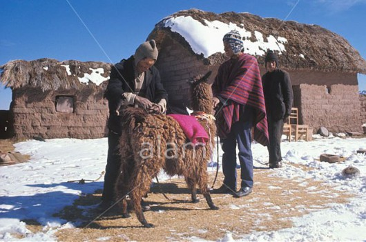 A05H1E Bolivia Aymara Indian tends his llamas in the snow beside his mud hut on remote bleak Altiplano at 16 000ft