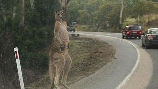 Brisbane, Australia - Ogromny kangur stanął na środku drogi i nie chciał przepuścić jednego z aut