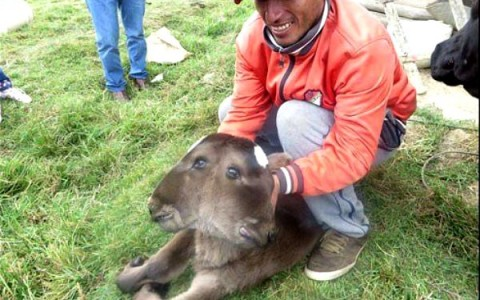 Cajamarca, Peru - W prowincji Nazca na świat przyszło ciele z dwoma głowami -2