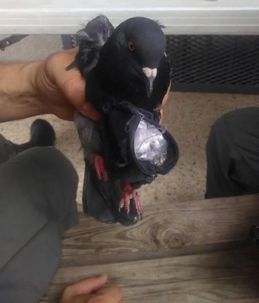 Kostaryka - Gołąb przemycał narkotyki do więzienia