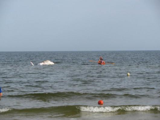 Martwy wieloryb w Zatoce Gdańskiej -2