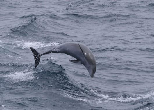 Polska - Do Zatoki Gdańskiej wpłynęły delfiny butlonose -3