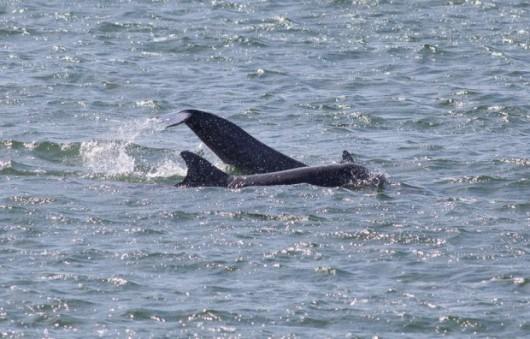 Polska - Do Zatoki Gdańskiej wpłynęły delfiny butlonose -4
