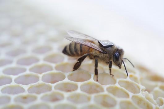 Pszczoła z RFID