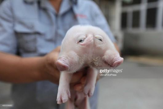 Tianjin, Chiny - Urodził się prosiak z dwoma głowami -7
