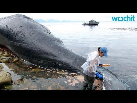 USA - U wybrzeży Alaski znaleziono 30 martwych wielorybów -3