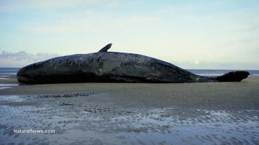USA - U wybrzeży Alaski znaleziono 30 martwych wielorybów -4