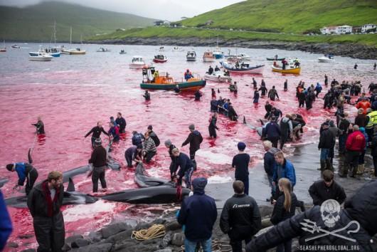 Wyspy Owcze - Kolejna sadystyczna rzeź dla tradycji, zabili 61 waleni -1
