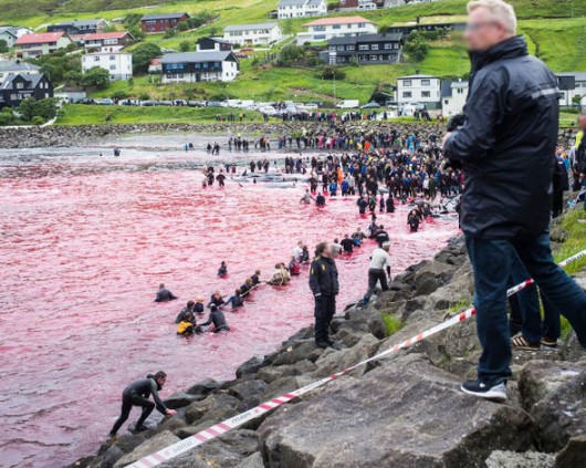Wyspy Owcze - Kolejna sadystyczna rzeź dla tradycji, zabili 61 waleni -2
