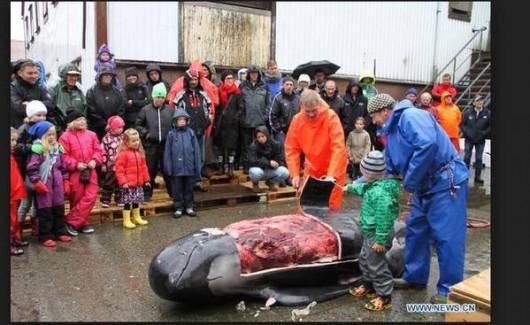 Wyspy Owcze - Kolejna sadystyczna rzeź dla tradycji, zabili 61 waleni -3