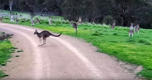 Australia - Stado nieruchomo stojących kangurów przeraziło rowerzystę z Melbourne -3