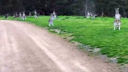 Australia - Stado nieruchomo stojących kangurów przeraziło rowerzystę z Melbourne