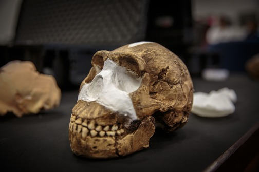 *** VIDEO AVAILABLE *** *** STRICT ONLINE EMBARGO UNTIL 10:00 GMT ON SEPTEMBER 10th 2015 *** JOHANNESBURG, SOUTH AFRICA - 08 SEPTEMBER: A cast of the skull of a new human ancestor, Homo Naledi, is seen in the vault of the University of the Witwatersrand in Johannesburg South Africa. A TEAM of International scientists have announced the discovery of a new species of human relative. The new species, named Homo naledi, has surprisingly human-like features and was discovered in a remote cave 50 kilometers northwest of Johannesburg, South Africa. With a brain the size of an orange, a slender body, ape-like shoulders and feet almost identical to humans, the find provides a unique insight into our human past., Image: 258066844, License: Rights-managed, Restrictions: *** SOUTH AFRICA OUT ***, Model Release: no, Credit line: Profimedia, Barcroft Media