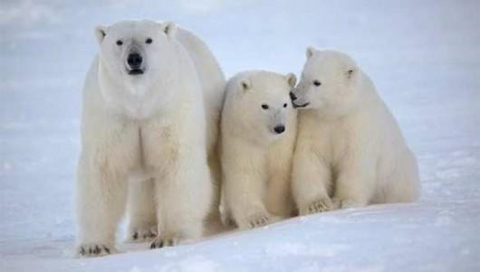 Niedźwiedzie polarne 2