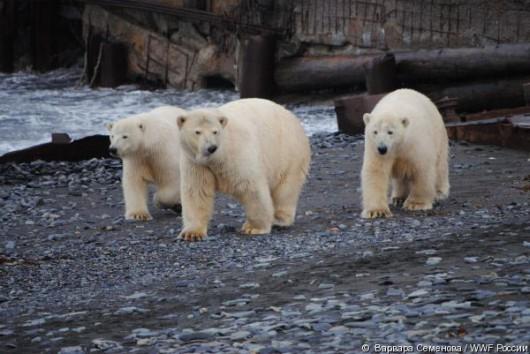 Rosja - Niedźwiedzie polarne sterroryzowały rosyjskich naukowców ze stacji meteorologicznej na wyspie Wajgacz -1
