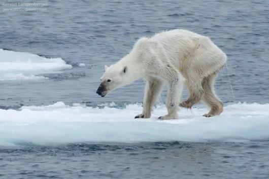 Svalbard - Przez zmiany klimatu zwierzętom polarnym coraz bardziej brakuje jedzenia