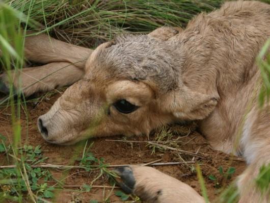 W kilka miesięcy wyginęła ponad połowa populacji antylop -4