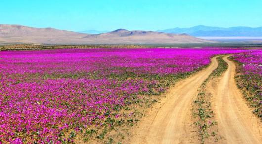 Chile - Różowa pustynia Atacama, wszystko za sprawą największego od 18 lat rozkwitu dzikiego ślazu -1