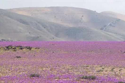 Chile - Różowa pustynia Atacama, wszystko za sprawą największego od 18 lat rozkwitu dzikiego ślazu -2