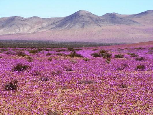 Chile - Różowa pustynia Atacama, wszystko za sprawą największego od 18 lat rozkwitu dzikiego ślazu -3