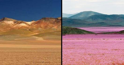 Chile - Różowa pustynia Atacama, wszystko za sprawą największego od 18 lat rozkwitu dzikiego ślazu -4
