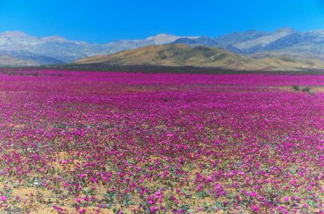 Chile - Różowa pustynia Atacama, wszystko za sprawą największego od 18 lat rozkwitu dzikiego ślazu -5