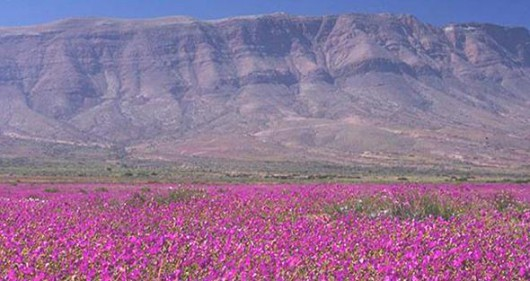 Chile - Różowa pustynia Atacama, wszystko za sprawą największego od 18 lat rozkwitu dzikiego ślazu -6
