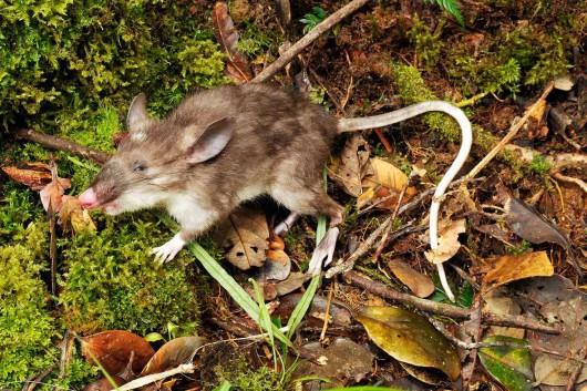Nowy gatunek ssaka, szczur - Hyorhinomys stuempkei -1