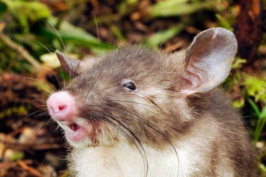 Nowy gatunek ssaka, szczur - Hyorhinomys stuempkei -2