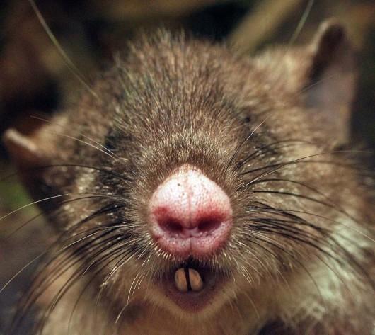 Nowy gatunek ssaka, szczur - Hyorhinomys stuempkei -3