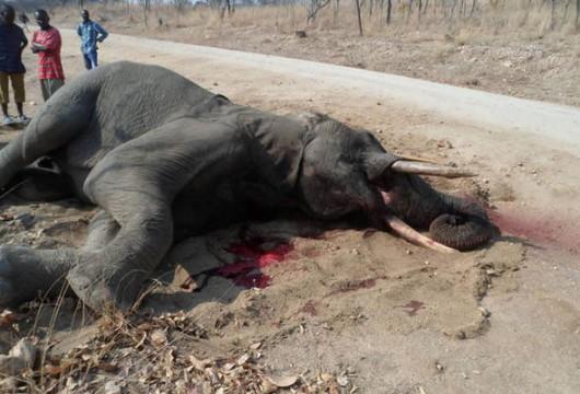 Zimbabwe - Kłusownicy otruli 14 słoni pomarańczami z cyjankiem -2