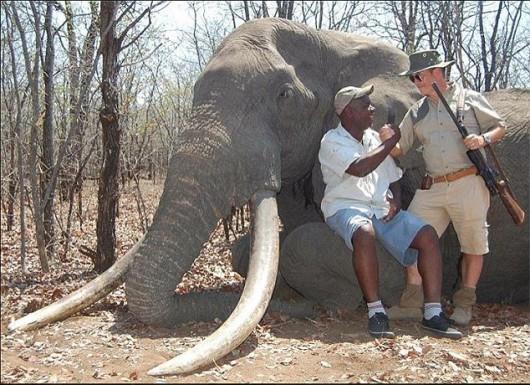 Zimbabwe - Myśliwy z Niemiec zastrzelił największego słonia, jakiego widziano w tym kraju od 30 lat -1