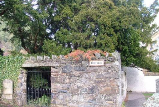 Fortingall, Szkocja - Jedno z najstarszych drzew w Europie zmieniło płeć po 3 tysiącach lat -1