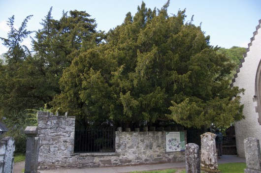 Fortingall, Szkocja - Jedno z najstarszych drzew w Europie zmieniło płeć po 3 tysiącach lat -2
