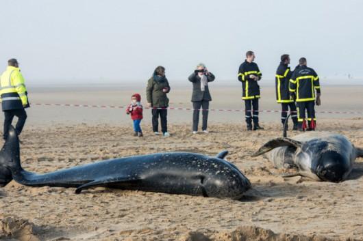 Francja - Dziesięć waleni na na plaży w Calais, tylko 3 uratowano -1