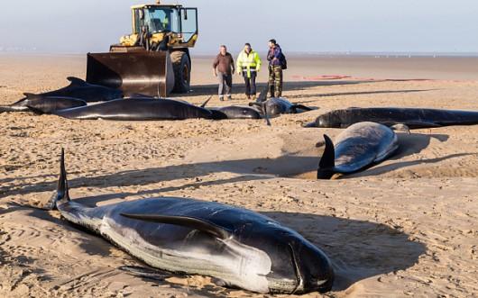 Francja - Dziesięć waleni na na plaży w Calais, tylko 3 uratowano -2