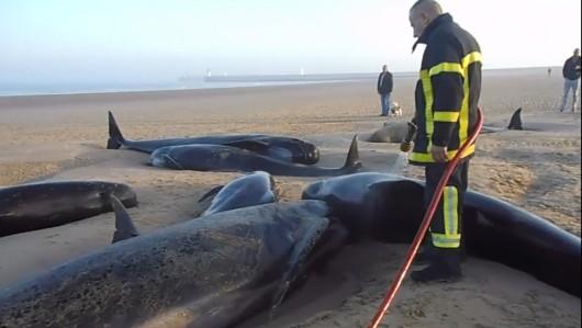 Francja - Dziesięć waleni na na plaży w Calais, tylko 3 uratowano -3