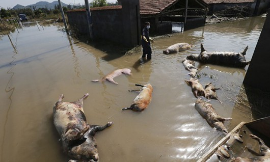 A farmer clears dead pigs at a flooded farm