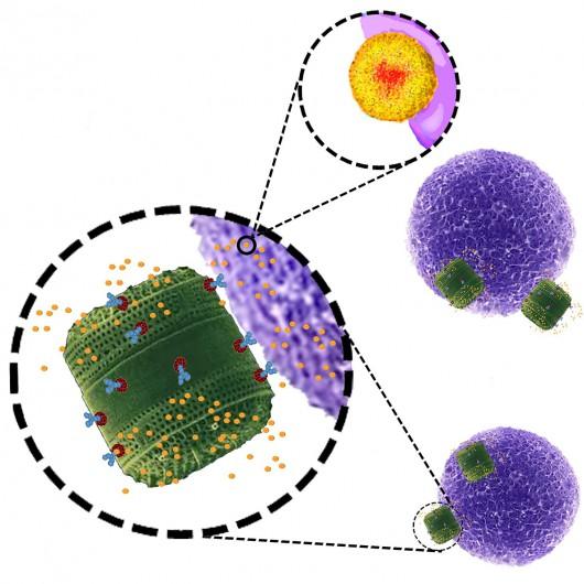 Przełomowe odkrycie, nanostruktury na bazie glonów wykorzystywane będą do transportu leków do komórek nowotworowych