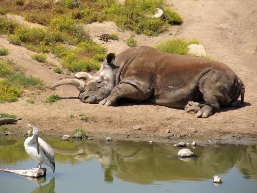 San Diego, USA - Zdechła Nola, jedna z czterech ostatnich na świcie białych nosorożców północnych