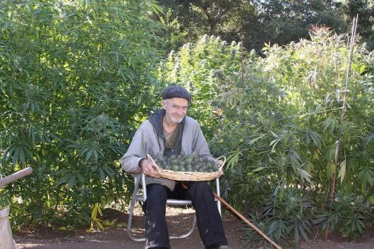 medyczna_marijuana4