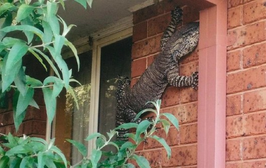 Australia - Ogromny gad na ścianie w Thurgoona