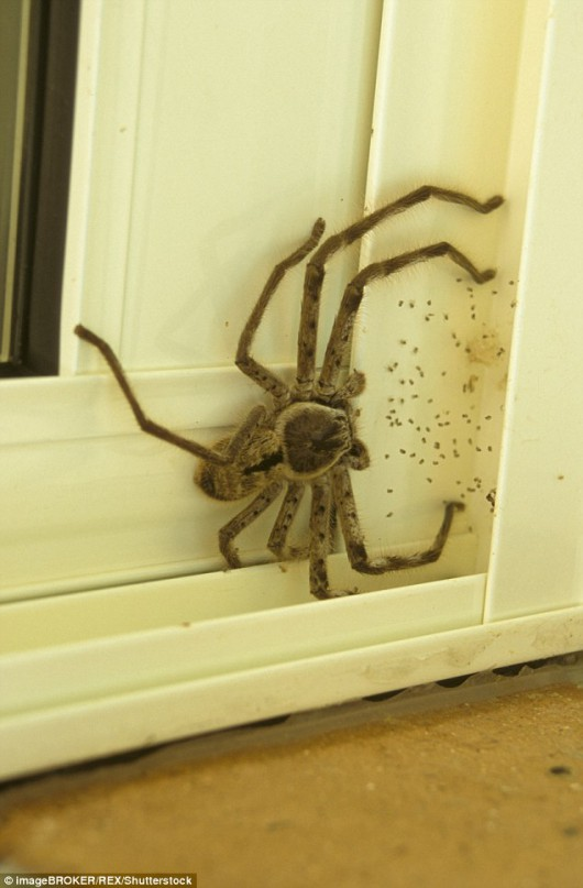 Australia - Wyjątkowo duży pająk 2
