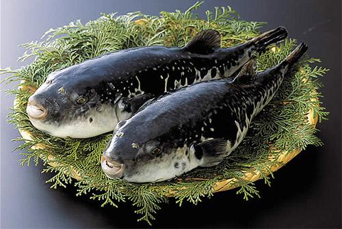 Ryba Fugu -3