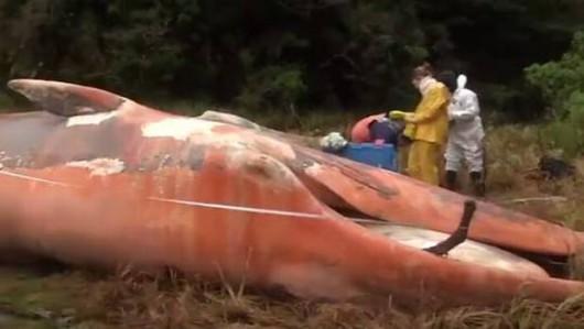 Zatoka Strapień, Chile - Morze wyrzuciło 337 martwych wielorybów -2
