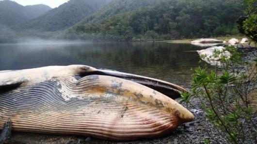 Zatoka Strapień, Chile - Morze wyrzuciło 337 martwych wielorybów -3