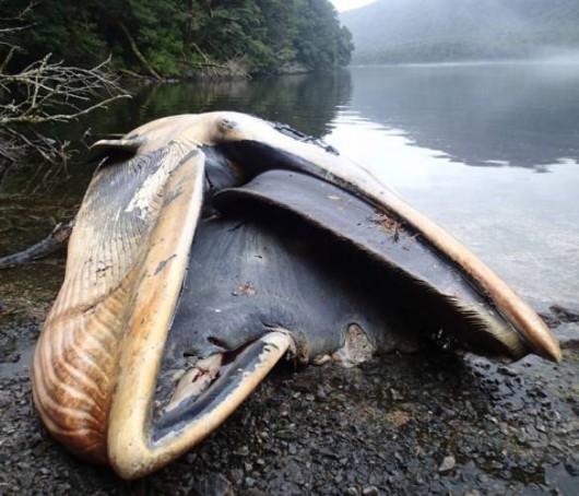 Zatoka Strapień, Chile - Morze wyrzuciło 337 martwych wielorybów -4