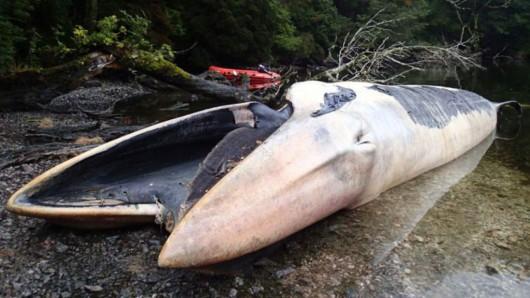 Zatoka Strapień, Chile - Morze wyrzuciło 337 martwych wielorybów -6