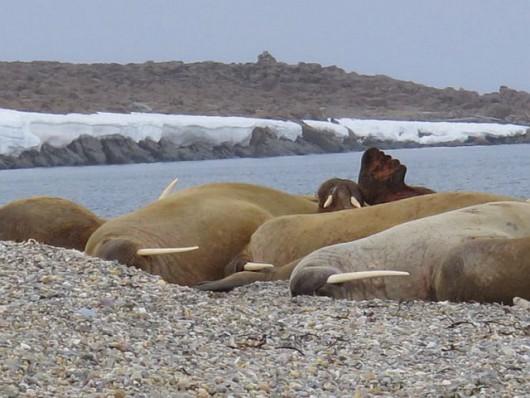 arktyka morsy 1